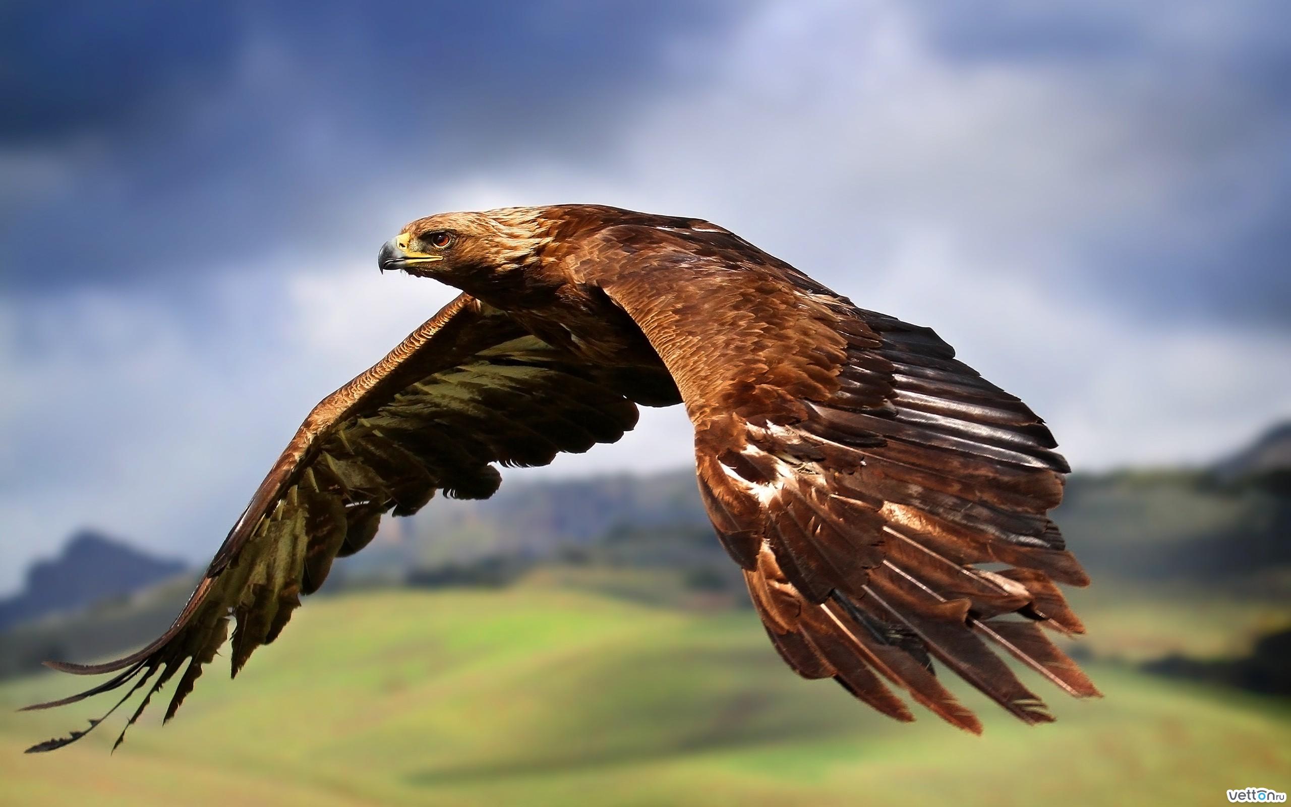 фото орёл птица