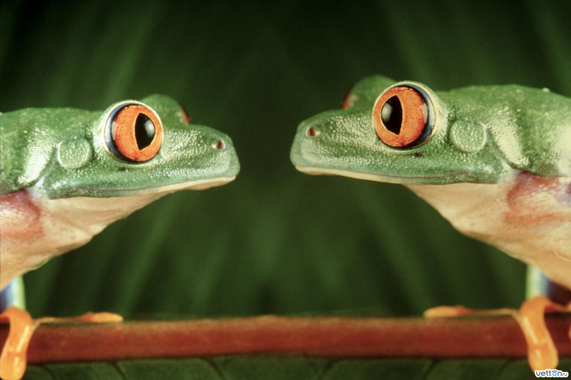 Чтобы посмотреть обою для рабочего стола Лягушки - Животные  148834 в