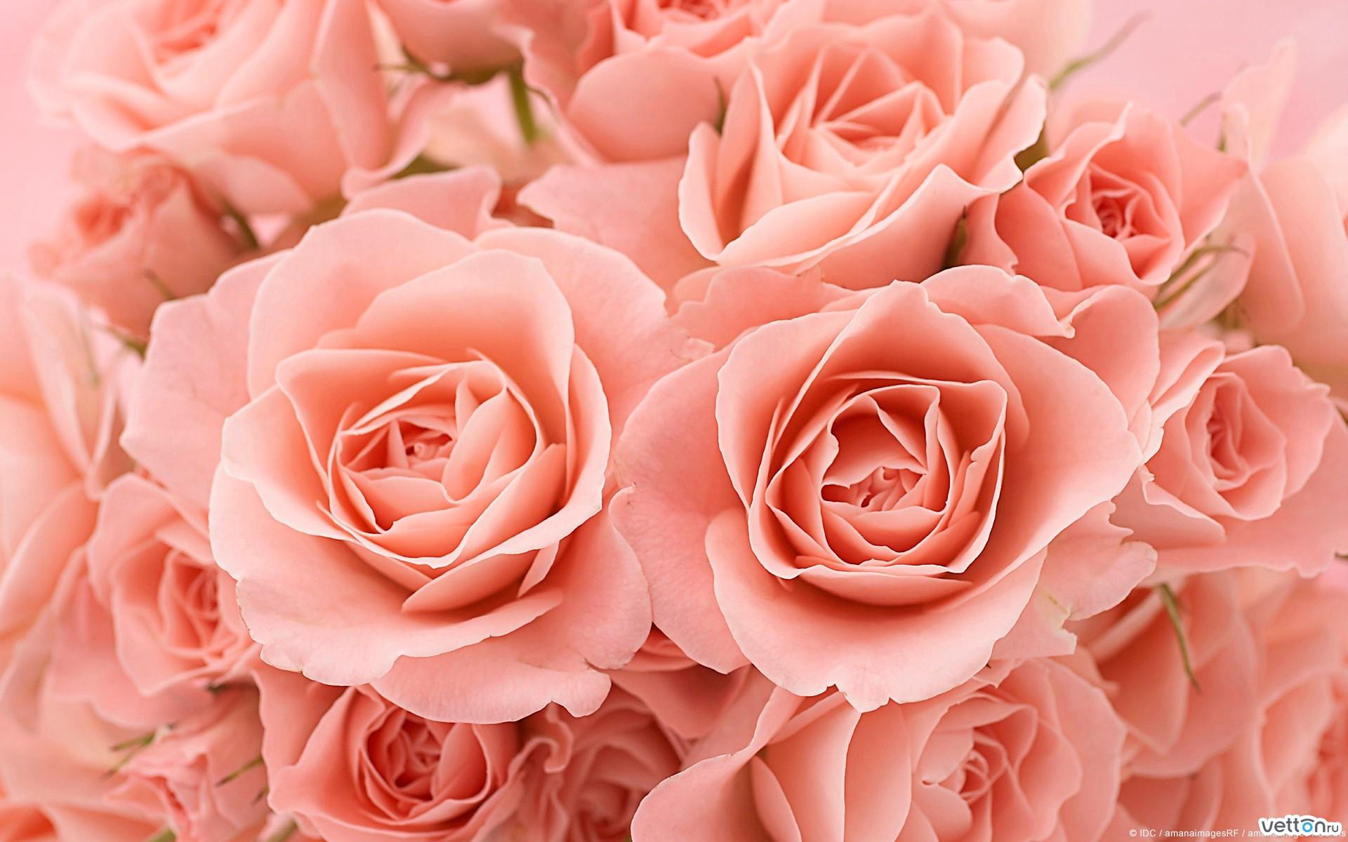 Цветы красивые картинки розы