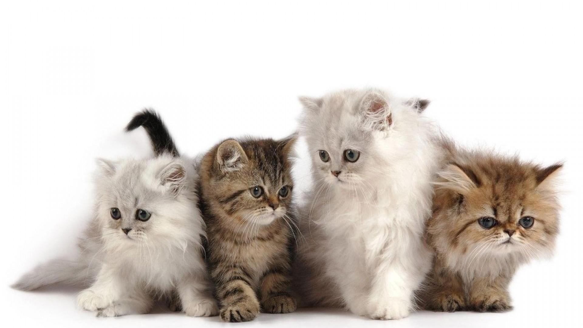 обои кошки для рабочего стола персы № 623694 загрузить