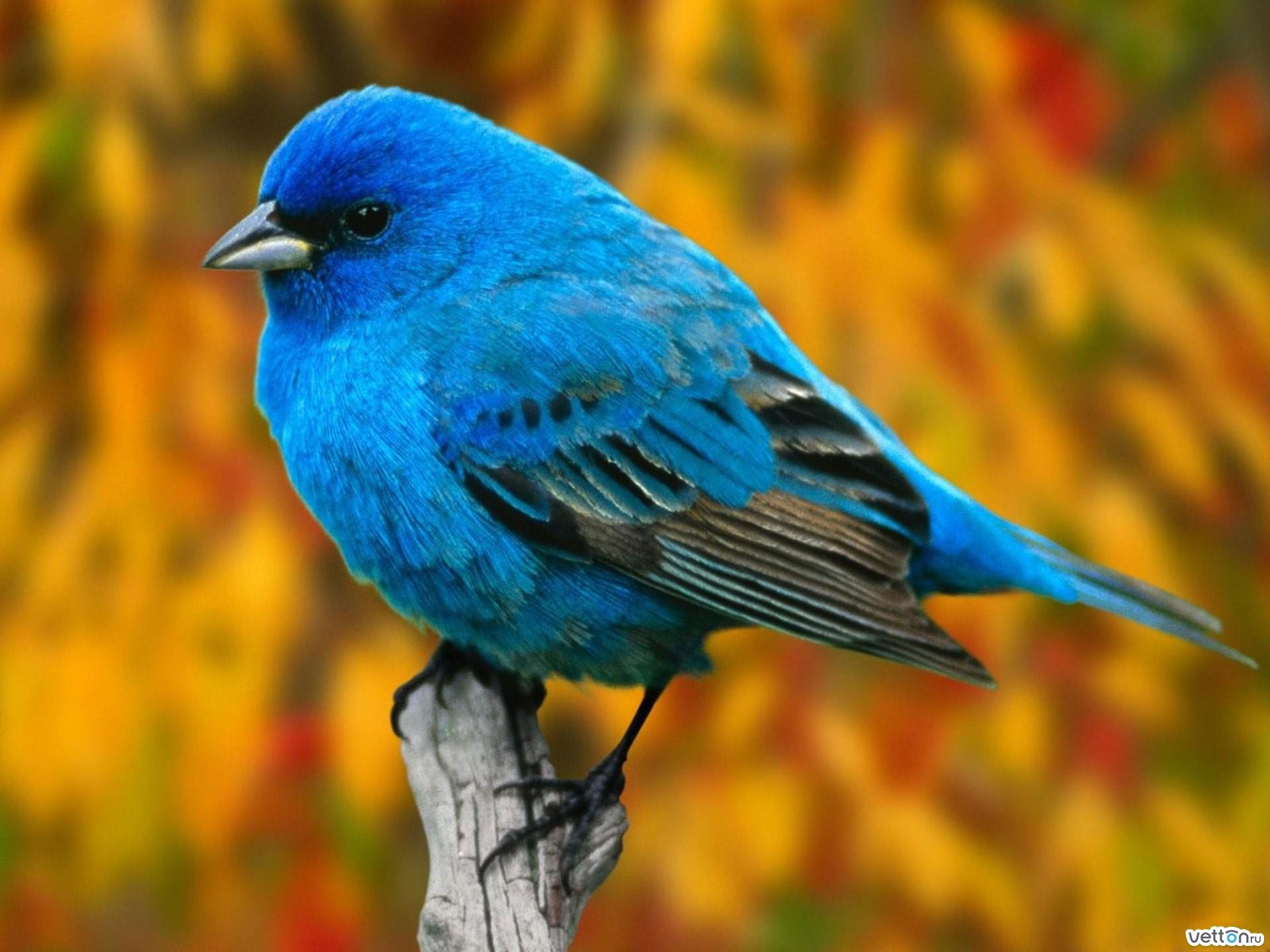 Стола животные птицы indigo bunting 14 птицы